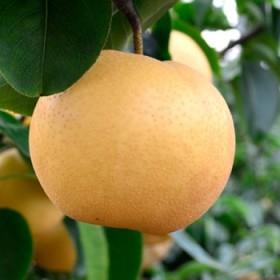 【新鲜丰水梨】梨子新鲜10斤整箱当季水果包邮秋月梨