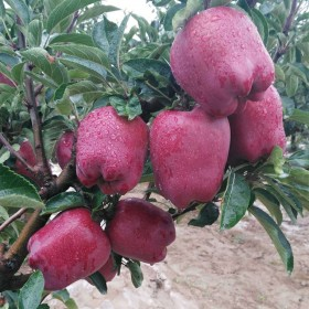 天水花牛苹果整箱10斤新鲜水果应季现摘粉面刮泥甘肃