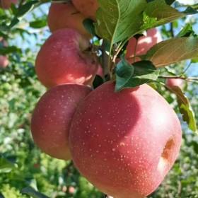 正宗昭通冰糖心丑苹果老人放心吃冰糖心苹果孕妇水果新